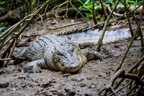 Coccodrillo nel fango di una foresta pluviale