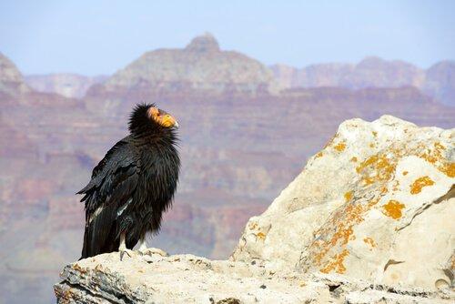 Condor della California