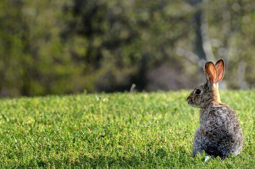 Coniglio selvatico seduto su un prato