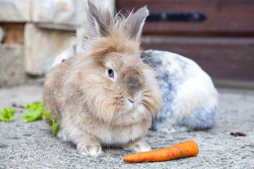 Coniglio testa di leone seduto con una carota davanti
