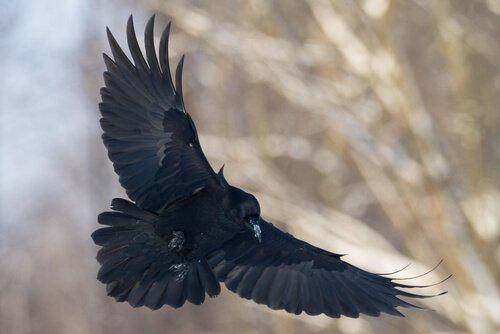 Corvo nero in planata
