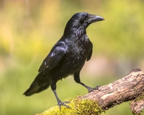 un corvo nero su un ramo