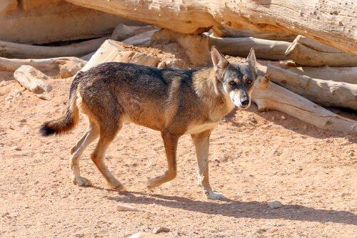 Coyote corre su un terreno desertico