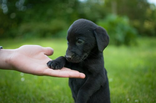 Trucchi e consigli per allevare un labrador retriever