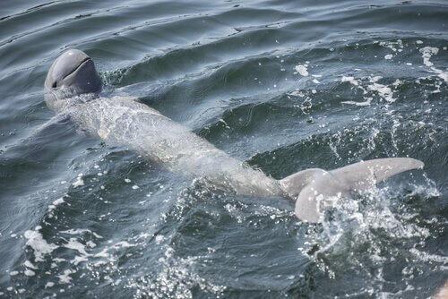 un delfino del fiume irrawaddy nuota con il muso in alto