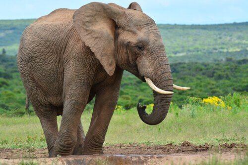 un elefante africano cammina nel prato