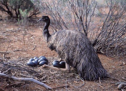 un emù mentre cova le sue uova