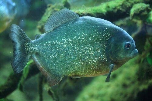 un esempio di Piranha di colore verde azzurro