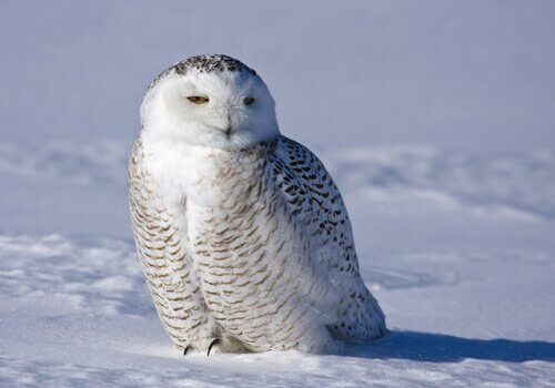 Gufo delle nevi, un animale maestoso