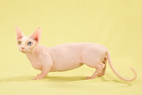 Gatto bambino: rosa, senza peli e con le zampe corte