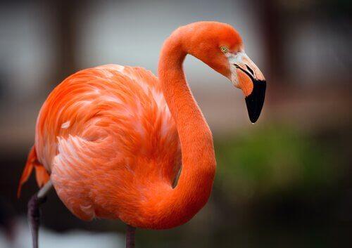 Fenicottero: un uccello affascinante e curioso