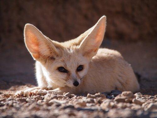 La fauna del Marocco