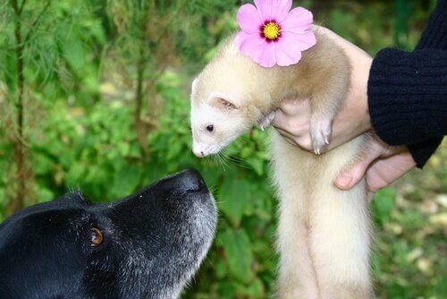 Furetto bianco e cane nero