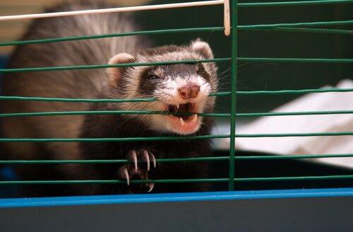 Furetto morde le sbarre della gabbia