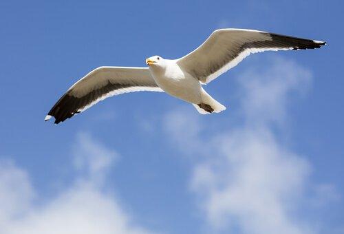 Gabbiano vola nel cielo guardando in basso