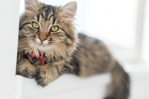 un gatto a pelo lungo con laccio rosso sdraiato