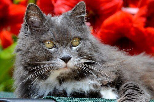 Gatto a pelo lungo grigio con occhi verdi