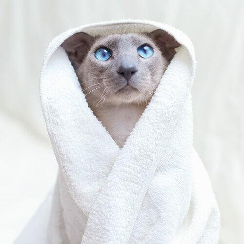 un gatto con accappatoio e occhi blu