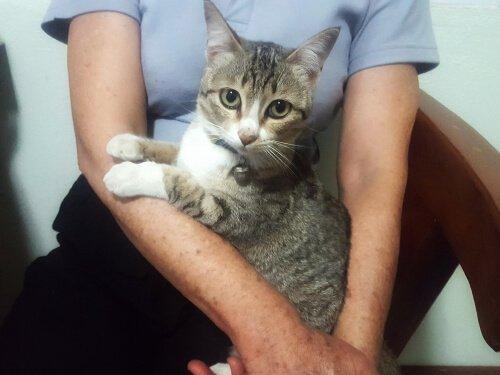 un gatto grigio in grembo a una ragazza