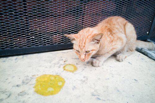 gatto che ha vomitato