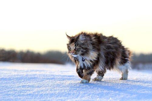 un gatto maine coon cammina sulla neve