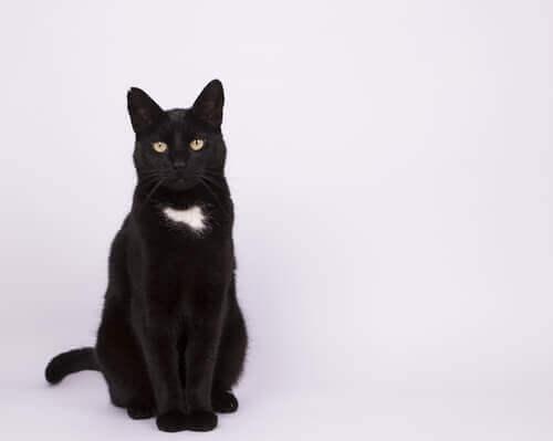 un gatto nero con macchia bianca sul collo