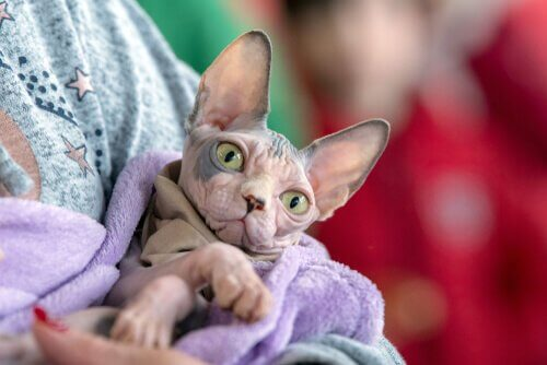 Come fare il bagno a un gatto senza peli