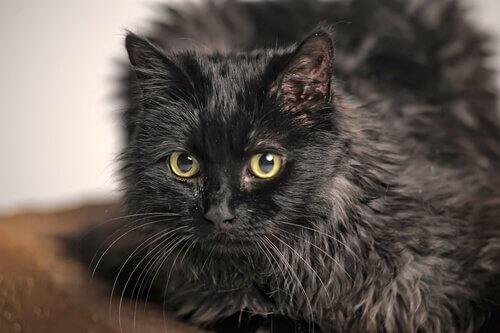 un gatto tiffany nero visto da vicino
