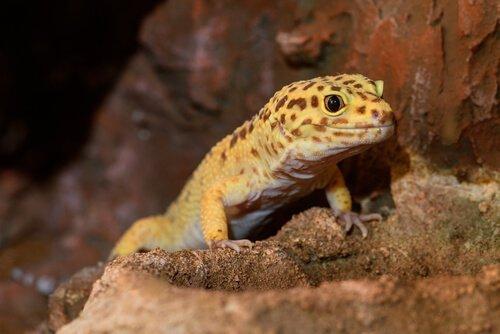 Geco leopardo sulla roccia