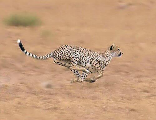 un ghepardo mentre sprinta a tutta velocità