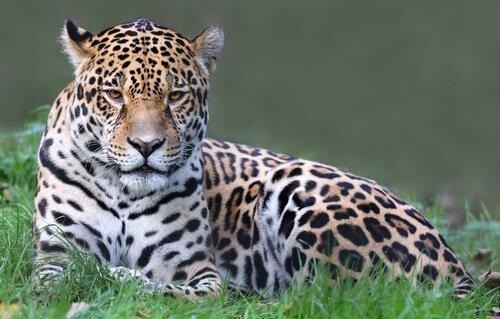 Giaguaro sdraiato nell'erba alta