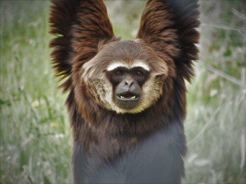 Gibbone adulto penzola da un albero