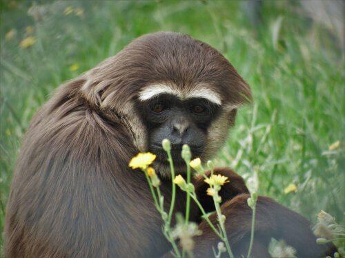Gibbone seduto gioca con dei fiori