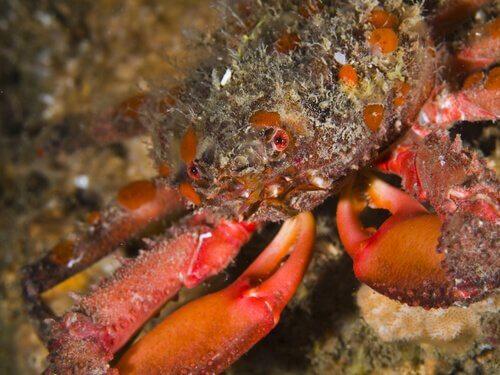 un granchio rosso cammina su uno scoglio