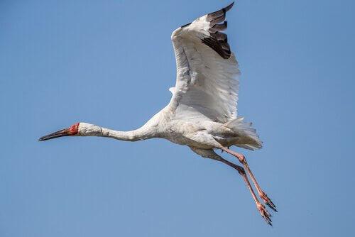 un gru siberiana in volo