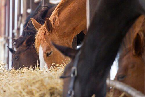 un gruppo di cavalli mangiano del fieno in una stalla
