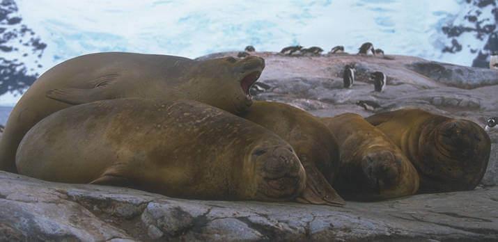 Elefanti marini in Antartide
