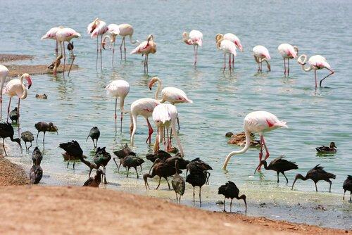 un gruppo di fenicotteri rosa si bagnano