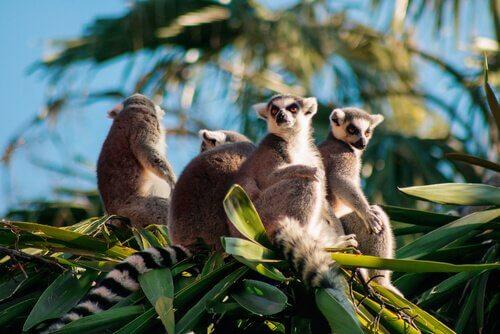 un gruppo di lemuri tra le fronde