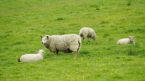 pecore tra animali ruminanti