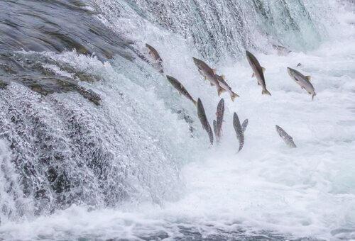 Gruppo di salmoni saltano controcorrente