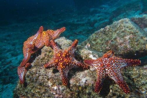 Le caratteristiche della stella marina