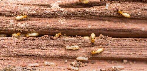 Il potere distruttivo delle termiti