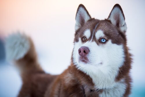 un husky siberiano con due occhi di diverso colore