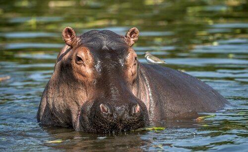 Ippopotamo adulto a fil d'acqua con la testa girata