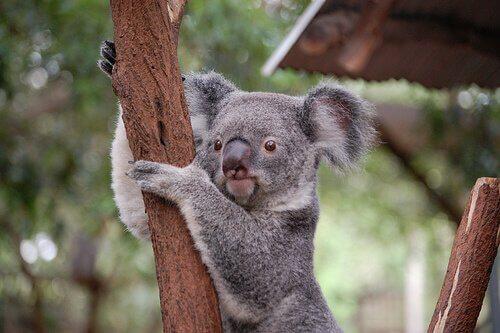 un koala appeso a un albero