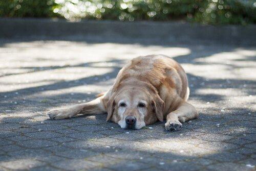 Labrador anziano riposa sdraiato all'ombra