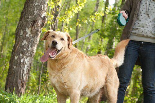 un labrador nel bosco al guinzaglio con la sua proprietaria