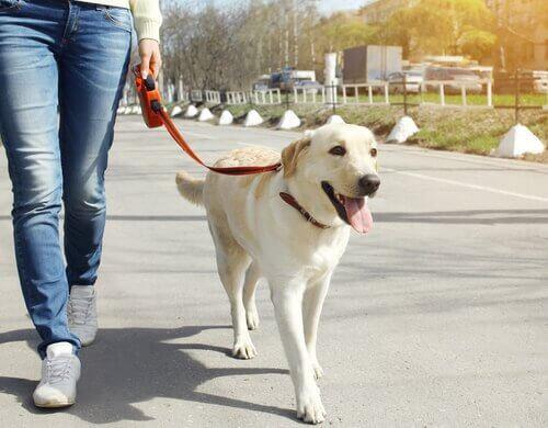 un labrador passeggia per strada tenuto col guinzaglio avvolgibile