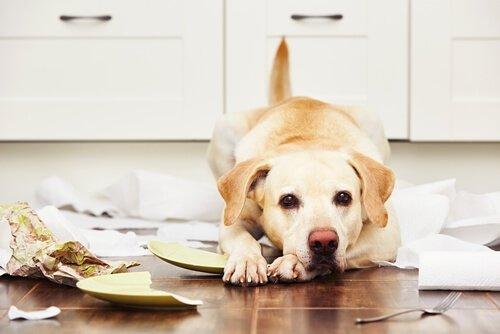 un labrador retriever che ha distrutto molti oggetti